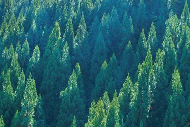 「フラッグFX」に使用されている<木製ファイバー>とは、ホワイトパイン(白松)のみを使って生成された非常に細い繊維です。なめらかな肌触りが特長です。原料は、幹から伐採するのではなく、剪定した枝部分のみを使用、早いサイクルで再生・成長するのでとてもエコロジーです。